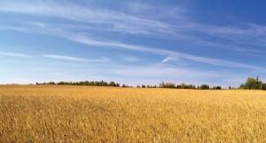 campo_grano